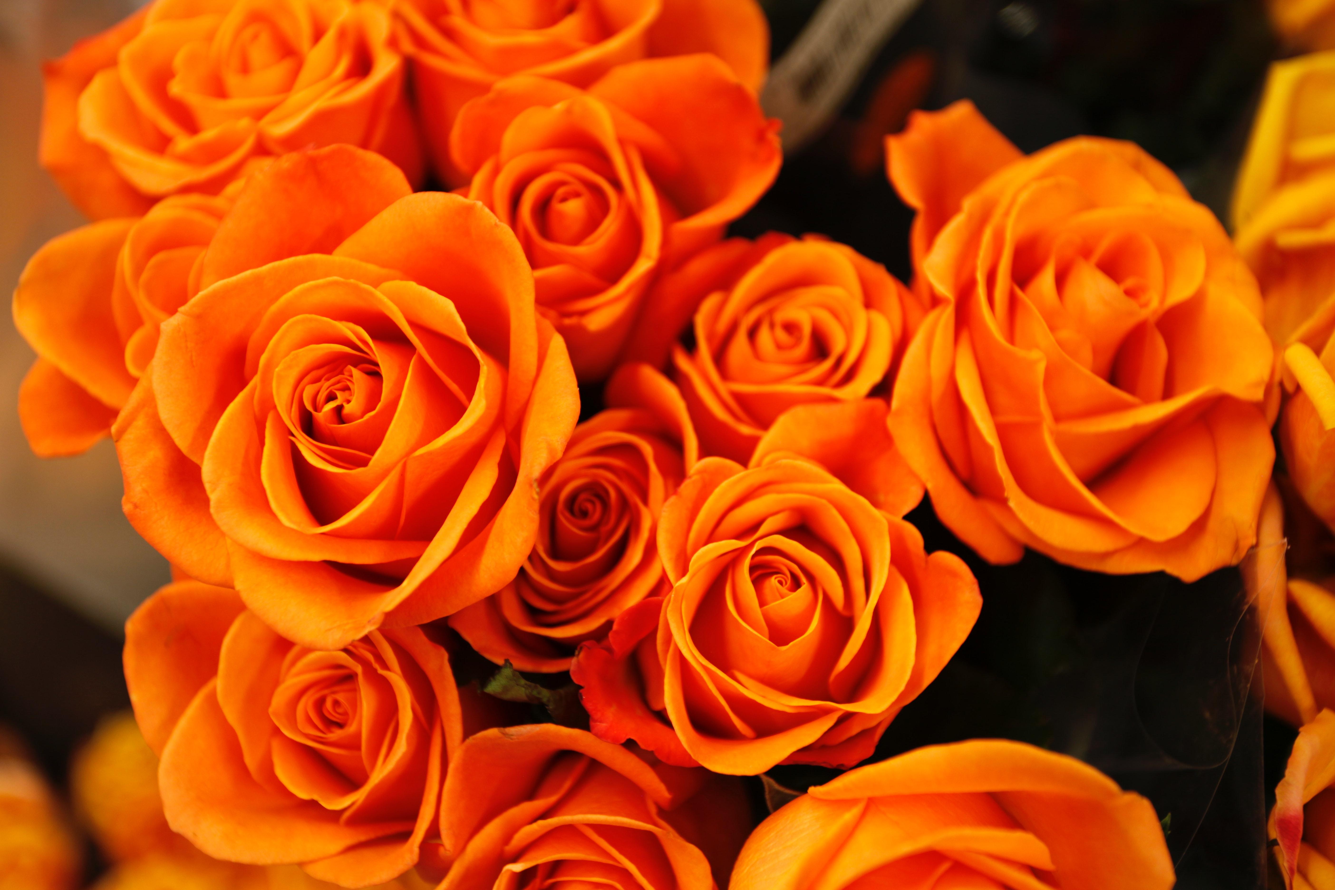 Vackra orangea rosor