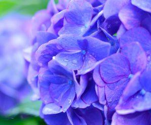 En lila hortensia